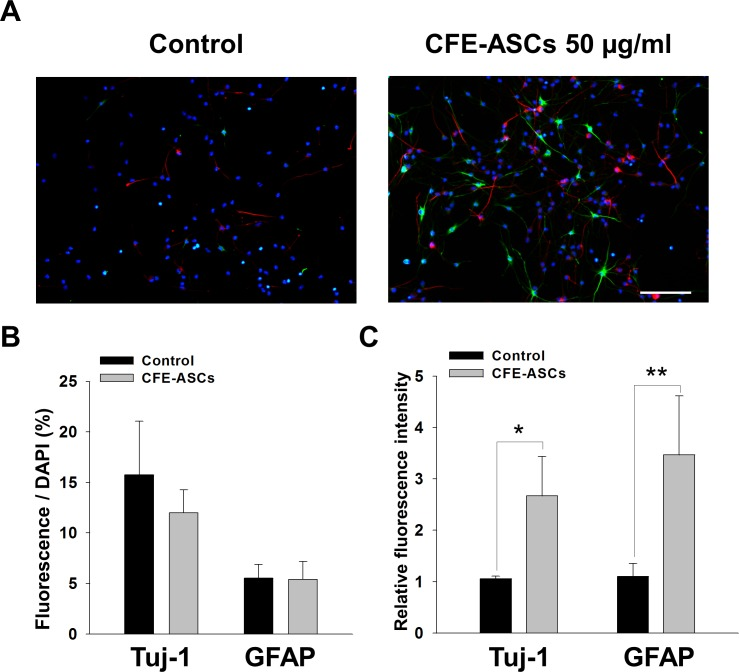Neural-differentiation promoting effects of CFE-ASCs. NSCs were cultured with DMEM/F12 with B27 and 5% FBS without EGF and bFGF. After 6 days, NSCs were treated with CFE-ASCs or vehicle for 2 days and stained with Tuj-1, GFAP and DAPI. Fluorescence microscopic observation showed expression of Tuj-1 (Red) and GFAP (Green) (A). Positive-stained cells were counted and normalized with DAPI (Blue) count. Vehicle and CFE-ASC-treated NSCs showed no significant differences in positive-cell numbers (n = 5) (B). Fluorescence intensities of Tuj-1 and GFAP were calculated and normalized with DAPI. Relative fluorescence intensity was higher in the CFE-ASC-treated group compared with the vehicle group (n = 5) (C). The data were analyzed using Student's t-test. All data are represented as the mean ± SD. *p