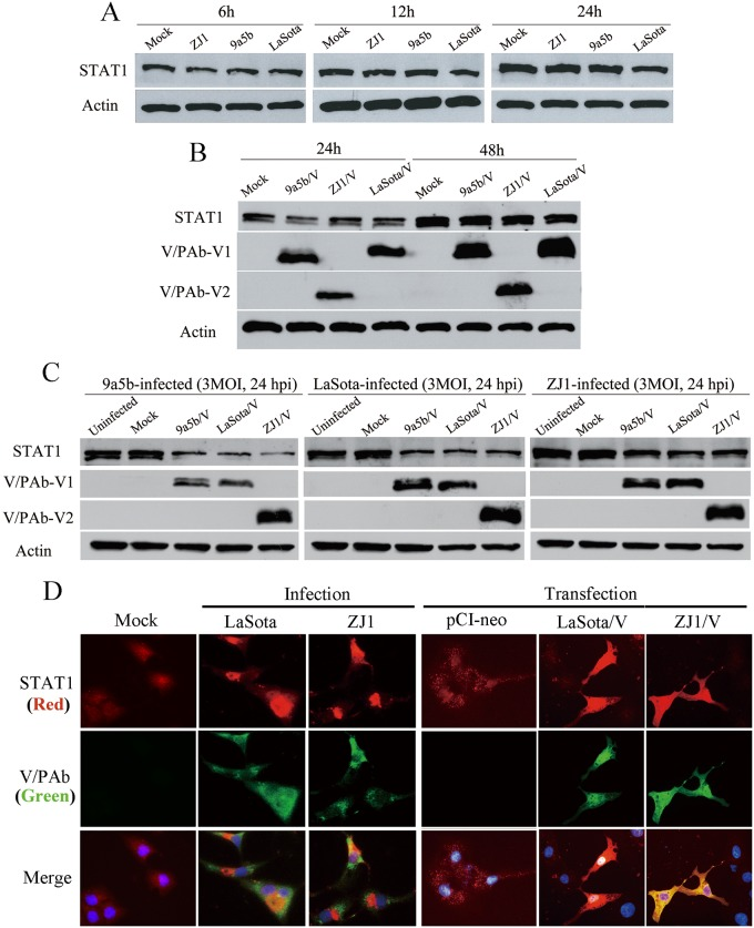 STAT1 expression in NDV infected or V-expressing plasmids transfected cells. (A) No STAT1 reduction was observed in Vero cells infected with NDV ZJ1, 9a5b or LaSota at MOI 3 at 6, 12 or 24 hpi. (B) Over-expression of ZJ1, 9a5b and LaSota V protein did not effect on STAT1 expression in Vero cells transfected with V-expressing plasmids. (C) STAT1 was reduced at 48 h post-transfection in NDV-infected Vero cells (MOI = 3) transfected in advance with V-expressing plasmids. (D) STAT1 expression in A549 cells transfected with V expressing plasmids or infected with ZJ1 or LaSota was detected at 48 h post-transfection or 12 h post-infection by indirect fluorescence assay. These infected A549 cells were fixed and detected for P/V/W proteins with a mixture of anti-serum Pab-V1 and Pab-V2; while the presence of STAT1 was determined by anti-STAT1 antibody (ab31369). Cellular nuclei were stained with 4,6-diamidino-2-phenylindole (DAPI).