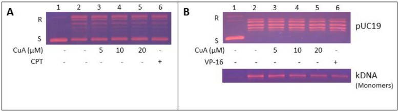 Inhibition of NCI-H520 topoisomerase I and II activities by CuA. (A) CuA inhibited topoisomerase I activity in NCI-H520 cells. Nuclear proteins from NCI-H520 cells were added to a specific topoisomerase I reaction mixture in the presence of the indicated concentrations of CuA (lanes 3-5), or 60 μM CPT (lane 6), or the vehicle (1% DMSO, lane 2). Lane 1: pUC19 DNA only. (B) CuA inhibits topoisomerase II activity in NCI-H520 cells. DNA relaxation assay (upper part) and decatenation assay (lower part): Nuclear proteins from NCI-H520 cells were added to a specific topoisomerase II reaction mixture in the presence of the indicated concentrations of CuA (lanes 3-5) or 60 μM VP-16, a specific topoisomerase II inhibitor (lane 6), or the vehicle (1% DMSO, lane 2). (Lane 1) Supercoiled pUC19 DNA (upper part) or kDNA (lower part) only. kDNA is a large network of plasmids, and when it is analyzed by gel electrophoresis, it penetrates only slightly into agarose gel (result not shown). Upon decatenation by topoisomerase II, mini circles monomers of kDNA were formed (lower part, lanes 2-6). CPT, camptothecin; CuA, <t>cuminaldehyde;</t> S and R, supercoiled and the relaxed forms of the pUC 19 plasmid DNA, respectively; VP-16, etoposide.
