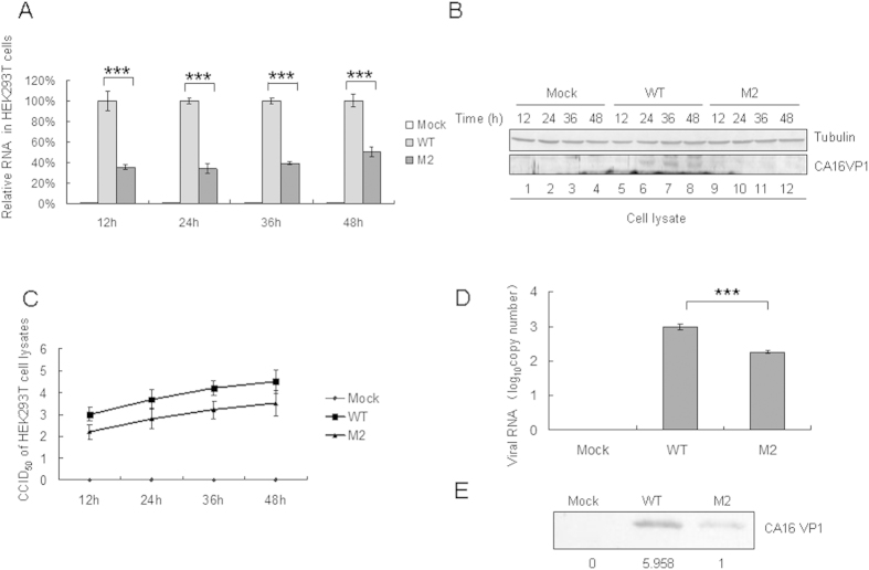 Effect of WT or M2 mutant 5′UTR of CA16 on viral RNA synthesis and viral translational capacity in transfected HEK293T cells. HEK293T cells were transfected with same amount of the WT or M2 infectious clone or empty vector, and were harvested at 12 h, 24 h, 36 h and 48 h after transfection. ( A ) RNA was extracted from a portion of each sample, treated with Dnase to degrade the transfected plasmid. DNA and then analyzed by RT-qPCR with primers specific for GAPDH or CA16 VP1 RNA. GAPDH was used as a control. The RNA level obtained by transfection with WT 5′UTR was normalized to 100%. ( B ) A portion of each cell sample was used to detect the VP1 protein by Western blot. ( C ) A portion of each cell sample was used to detect the viral titer. ( D ) Viral loads in supernatant of transfected HEK293T cells at 48h after transfection were detected by RT-qPCR with primers specific for CA16 VP1 RNA. ( E ) The VP1 protein of the WT or M2 virus in the supernatant was detected by Western blot using VP1 antibody. * P