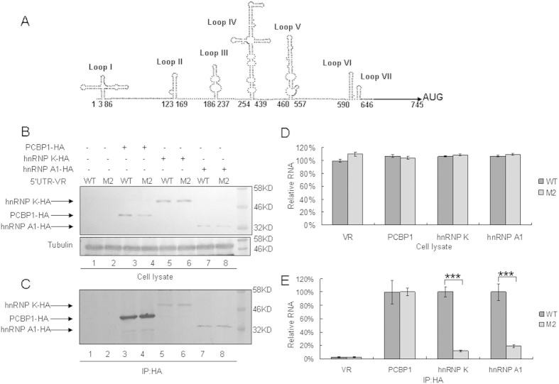 Interactions of WT or M2 mutant 5′UTR of CA16 with cellular proteins hnRNP K, hnRNP A1 and PCBP1. ( A ) Structural prediction of CA16 5′UTR using Mfold software. The nucleotide change C104T is located at the linker between loop I and II. ( B ) Expression of cellular proteins after transfection with 5′UTR of CA16. VR1012, hnRNP K-HA, hnRNP A1-HA or PCBP1-HA was co-transfected with WT 5′UTR or M2 mutant expression vector into HEK293T cells. Cell lysate were prepared at 48 h after transfection. Part of each cell lysate was dissolved in 1 × loading buffer for immunoblotting analysis. ( C ) Immunoprecipitation assay. Most of each cell lysates was incubated with anti-HA agarose beads at 4 °C for 3 h. Following washing and dissociation, part of each bead pellet was re-suspended in 1 × loading buffer for immunoblotting analysis, and another part was used for RNA extraction. ( D ) RNA levels of CA16 5′UTR in cell lysates. RNA was extracted from a portion of each set of transfected HEK293T cells and then analyzed by RT-qPCR using primers specific for GAPDH RNA or CA16 5′UTR RNA. GAPDH was used as a control. The RNA level in the presence of VR1012 and WT 5′UTR was normalized to 100%. ( E ) Interaction of various cellular proteins with CA16 5′UTR. RNA extract from immunoprecipitation was subjected to RT-qPCR analysis with primers specific for CA16 5′UTR RNA. The RNA level in the presence of PCBP1, hnRNP K or hnRNP A1 and WT 5′UTR was normalized to 100%. The RNA level in the presence of PCBP1 and WT 5′UTR was normalized to 100% in the VR1012 negative control group. Errors bars represent the SD from triplicate wells within one experiment. Results represent at least three independent experiments. * P