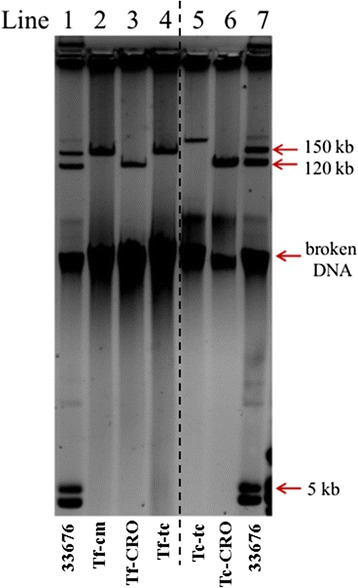 Plasmid profiles for strain 33676 and its transformant or transconjugant derivatives. Strain 33676 carries three plasmids of about 150, 120 and 5 kb, corresponding to IncA/C, IncF and ColE1-like plasmids, respectively (lanes 1 and 7). E.coli DH5α derivatives were obtained by conjugation or transformation. Transformants were obtained with chloramphenicol (Tf-cm, lane 2), ceftriaxone (Tf-CRO, lane 3), and tetracycline (Tf-tc, lane 4); <t>transconjugants</t> were obtained with tetracycline (Tc-tc, lane 5), and ceftriaxone (Tc-CRO, lane 6)