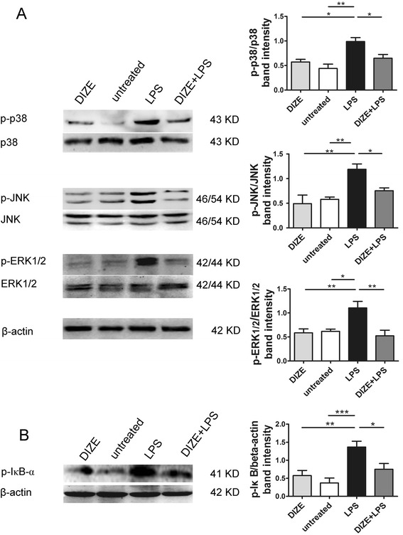Effect of DIZE on the phosphorylation levels of MAPKs and the activation of NF-κB in ARPE-19 cells stimulated with LPS. a Western blotting was used to determine the protein levels of p38 MAPK, JNK, ERK1/2 and their phosphorylated forms (p-p38, p-JNK, and p-ERK1/2). b Activation of NF-κB pathway was indicated by p-IκB-α, an indicator for the activation of NF-κB. The expressions of p-p38, p-JNK, and p-ERK1/2 were normalized to p38, JNK, and ERK1/2, respectively. The band intensity of p-IκB-α was normalized to β-actin. DIZE treatment resulted in remarkably reduction of phosphorylation of p38, JNK, ERK1/2, and IκB-α compared with the LPS-stimulated group. All data are expressed as mean ± SEM (*** p