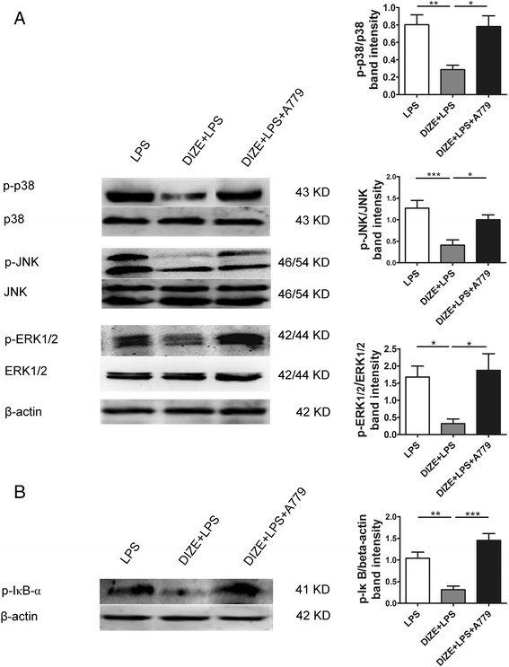 Effect of A779 on the phosphorylation of MAPKs and the activation of NF-κB in ARPE-19. Western blotting was applied to determine the protein levels of p-p38, p-JNK, p-ERK1/2, p38, JNK, ERK1/2 ( a ) and p-IκB-α, an indicator for the activation of NF-κB ( b ). The band intensity of p-p38, p-JNK, and p-ERK1/2 was normalized to p38, JNK, and ERK1/2, respectively. The band intensity of p-IκB-α was normalized to β-actin. DIZE reduced the phosphorylation of p38, JNK, and ERK1/2 and IκB-α induced by LPS, while A779 abrogated DIZE's effect. All data are expressed as mean ± SEM (*** p