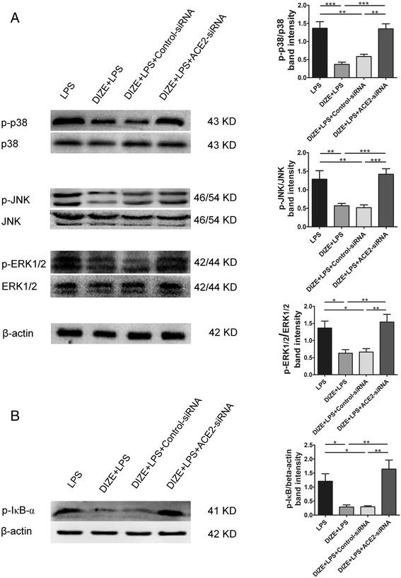 Effect of ACE2-siRNA on the phosphorylation of MAPKs and the activation of NF-κB in ARPE-19. The protein levels of p-p38, p-JNK, p-ERK1/2, p38, JNK, ERK1/2 ( a ) and p-IκB-α ( b ) were determined by Western blotting. The band intensity of p-p38, p-JNK, and p-ERK1/2 was normalized to p38, JNK, and ERK1/2, respectively. The band intensity of p-IκB-α was normalized to β-actin. DIZE reduced the phosphorylation of p38, JNK, and ERK1/2 and IκB-α induced by LPS, while ACE2-siRNA abolished DIZE's effect. All data are expressed as mean ± SEM (*** p