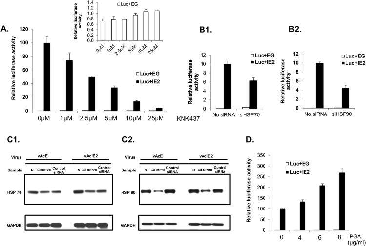 HSPs positively regulate IE2 transaction activity. (A) vAcIE2 and vAcL co-transduced Vero E6 cells were treated with KNK437 at various concentrations, followed by luciferase assays at 48 hpt. The results show that IE2 trans -activation activity on the CMV promoter was down-regulated in a dose-dependent manner. KNK437 did not have a negative effect on the control group represented by vAcE transduction. (B) siRNA against hsp70 (B1) and hsp90 (B2) genes were transfected into Vero E6 cells, followed by vAcIE2 and vAcL co-transduction. A luciferase assay at 48 hpt detected negative effects on the IE2 trans -activation of the CMV promoter. (C) siRNA against hsp70 (C1), hsp90 (C2) and negative control siRNA against a scrambled sequence (Santa Cruz) were transfected into Vero E6 cells, followed by vAcIE2 or vAcE transduction. Cell extracts were harvested at 48 hpt and analyzed by Western blotting. (D) PGA 1 , which stimulates the heat shock response, further enhanced the IE2 trans -activation effect on the CMV promoter in a dose-dependent manner.