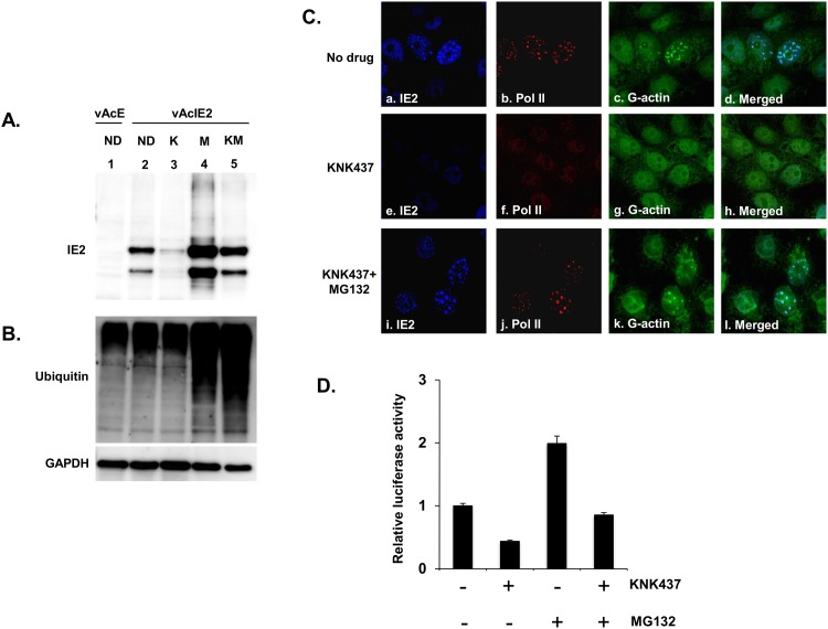 IE2 protein level is restored with the combination treatment of KNK437 and MG132. vAcIE2-transduced Vero E6 cells were treated with KNK437 (5 μM) and/or MG132 (2.5 μM) in various combinations. (A-B) Cell extracts were prepared at 48 hpt to detect the presence of IE2, ubiquitin and GAPDH proteins. Western blot analysis showed a significant recovery of IE2 protein levels in the presence of the proteasome inhibitor, MG132. ND: no drug, K: KNK437, M: MG132, KM: KNK437+MG132. (C) vAcIE2-transduced Vero E6 cells were fixed and examined by immunofluorescence staining. Panels a to d show that at 48 hpt, IE2 formed mature nuclear bodies that included a high concentration of G-actin (green) and enlarged, activated Pol II dots (red). KNK437 treatment alone (panels e to h ) led to a failure in IE2 nuclear body formation as well as G-actin and activated Pol II recruitment, whereas for KNK437 in combination with MG132 (panels i to l ), mature IE2 nuclear bodies could again be observed. (D) vAcIE2 and vAcL co-transduced Vero E6 cells were treated with drugs at the indicated combinations and collected at 48 hpt. The luciferase assay shows that IE2 trans -activation activity was also restored in the presence of MG132.