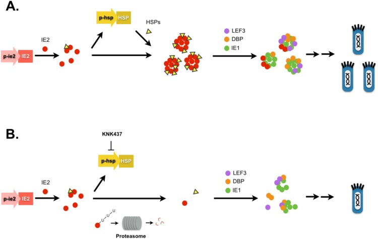 Schematic diagram of IE2 and heat shock protein interactions during baculovirus infection. (A) Upon virus infection, IE2 is expressed and stimulates heat shock protein expression. The elevated levels of heat shock proteins further sustain IE2 transcription center formation, most likely by protecting it from degradation. The IE2 transcription centers activate or recruit several additional viral factors including IE1, Lef3 and DBP [ 20 ], allowing the virus to maximize its amplification in the infected cells. (B) In the presence of KNK437-the heat shock response inhibitor-IE2 is rapidly degraded through the ubiquitin-proteasome pathway and fails to form mature transcription centers. The lack of IE2 nuclear body formation eventually contributes to lower levels of virus titer.