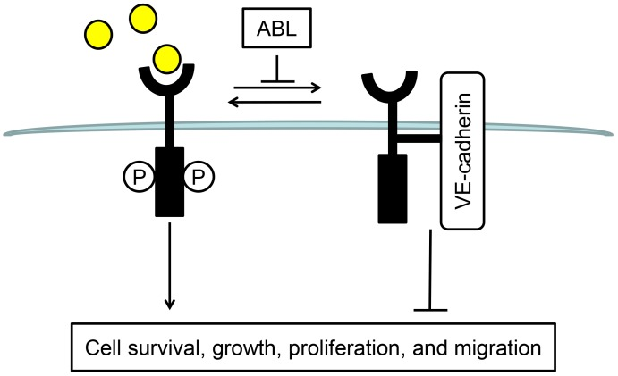 Schematic representation of the ABL effect on VEGF signaling in ECs. ABL inhibits VEGFR-2 and VE-cadherin association, thus promoting VEGFR-2 internalization, following by VEGF-induced VEGFR-2 phosphorylation and downstream signaling.