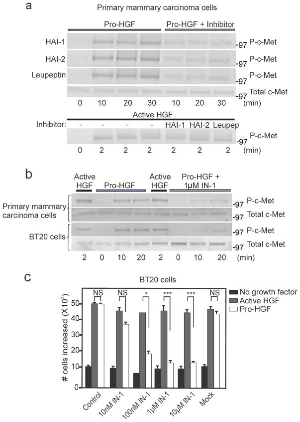 Abrogation of pro-HGF mediated c-met activation and breast cancer cell proliferation using matriptase inhibitors (a) Matriptase sufficient mouse mammary carcinoma cells were isolated from Mat-PymT + mice and exposed to pro-HGF or pre-cleaved active HGF with and without matriptase inhibitors added concomitantly (60 nM HAI-1, 40 nM HAI-2 or 20 uM <t>leupeptin).</t> Cells were lysed at the indicated time points after growth factor stimulation and analyzed for total and activated c-Met by western blotting. (b) Mouse mammary carcinoma cells or human breast cancer BT20 cells were serum starved and pre-incubated with 1 μM IN-1 synthetic matriptase inhibitor for 30 min before exposure to active HGF, pro-HGF, or no growth factors. Cells were lysed at the indicated time points after growth factor stimulation and analyzed for total and activated c-Met by western blotting. (c) BT20 cells were serum starved and exposed to either active HGF (gray bars), pro-HGF (white bars), or no growth factor (black bars) for 24 h and counted. The synthetic selective matriptase inhibitor IN-1 was added at 10 nM, 100 nM, 1 μM, or 10 μM concomitantly with pro-HGF/HGF. In the mock control vehicle (PBS) was added. Graphs show the increase in cell numbers at 24 h after stimulation (triplicates) (*P