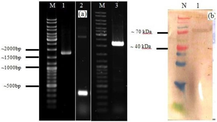 A. Agarose gel electrophoresis analysis of PCR product of HN of NDV, acmA, and HN-acmA Cassette ; Lane M: GeneRuler DNA ladder mix; Lanes 1: PCR product of HN of NDV, which is around ~ 1750 bp. Lanes 2: PCR product of acmA , which is around ~ 366 bp. Lanes 3: PCR product of HN-acmA , which is around ~ 2100 bp. B. SDS-PAGE and Western blot analysis of the purified recombinant HN-AcmA protein ; Lane N: Spectra Multicolor Broad Range Protein Ladder; Lane 1: pCDNA:HN-AcmA; Expression was confirmed through Western blot by using specific polyclonal antibody directed against NDV.