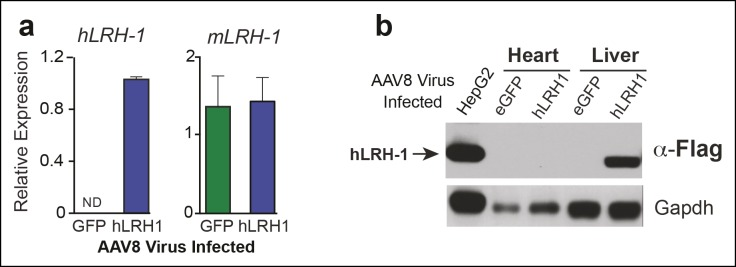 Human LRH-1 transcripts and protein are expressed in liver after AAV8-TBG viral infection. ( A ) Relative expression of hLRH-1 or endogenous mLrh-1 transcripts in mouse liver 14 days post-infection with either AAV8-eGFP (GFP) or AAV8 hLRH-1 (hLRH-1) at a vector genome titer of 1 x 10 11 (genome copies/ml or GC/ml). ( B ) Human LRH-1 detected by anti-Flag antibody in heart and liver tissue collected from mice expressing Flag-hLRH-1 (hLRH-1) or eGFP as described in 'Materials and methods'. Human Flag-tagged LRH-1 protein expressed in HepG2 cells is indicated with arrow (far left lane) and loading controls for each sample (Gapdh). DOI: http://dx.doi.org/10.7554/eLife.09003.006