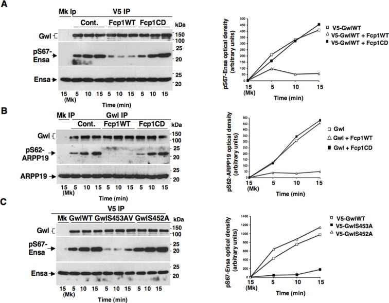 Fcp1 affects Ensa/ARPP19 kinase ability of Gwl. ( A ) V5 IP from V5-GwlWT-transfected, prometaphase-arrested, HeLa cells was divided into three sets and incubated for phosphatase reactions with buffer (Cont.), Fcp1WT or Fcp1CD proteins (Mk IP; 1/3 mock IP incubated with buffer). IPs were washed, each set split into three portions and incubated in kinase reactions at 37°C with recombinant Ensa protein. ( B ) Gwl IP from prometaphase-arrested HeLa cell lysates was divided into three sets. Each set was incubated in phosphatase reactions containinig either just buffer (Cont.), Fcp1WT or Fcp1CD proteins (Mk IP; 1/3 mock IP incubated with buffer). After phosphatase reaction, IPs were washed, each set split into three portions and incubated in kinase reactions at 37°C with recombinant ARPP19 protein. ( C ) V5 IP from lysates of prometaphase-arrested HeLa cells, previously transfected with V5-GwlWT, V5-GwlS453A or V5-GwlS452A, were split into three portions and incubated in kinase reactions at 37°C with recombinant Ensa protein. Kinase reactions were stopped at indicated time points and probed for indicated antigens (Mk IPs were incubated for 15 min). Graphs show quantitation (arbitrary units) of pS67-Ensa and of pS62-ARPP19 optical density. Data shown are representative of three independent experiments per type. DOI: http://dx.doi.org/10.7554/eLife.10399.014
