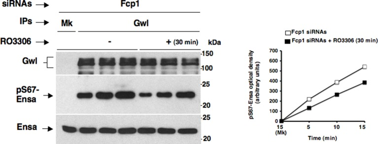 Effects of prolonged Cdk1 inhibition on Gwl activity in Fcp1-depleted cells. Gwl IPs from cell lysates of prometaphase-arrested Fcp1 siRNAs-treated (Fcp1) HeLa cells treated – or + RO3306 for 30 min, the same cell lysates of the experiment described in Figure 2—figure supplement 2 , were each split into three portions and incubated in kinase reactions at 37°C with recombinant Ensa protein. Kinase reactions were stopped at indicated time points of incubation and probed for indicated antigens (Mk IPs were incubated for 15 min). Graphs show quantitation (arbitrary units) of pS67-Ensa optical density. Data shown are representative of three independent experiments per type. DOI: http://dx.doi.org/10.7554/eLife.10399.015