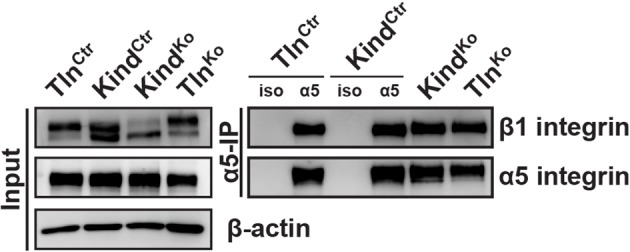 Tln Ko and Kind Ko cells display comparable α5β1 integrin cell surface levels. Live Tln Ctr , Kind Ctr , Tln Ko and Kind Ko cells were incubated with antibodies against α5 integrin (α5) or with an unrelated isotype control (iso) on ice to immunoprecipitate α5 integrin from their cell surface. Following immunoprecipitation, the proteins were analyzed by western blotting to determine the levels of β1 and α5 integrin. DOI: http://dx.doi.org/10.7554/eLife.10130.010