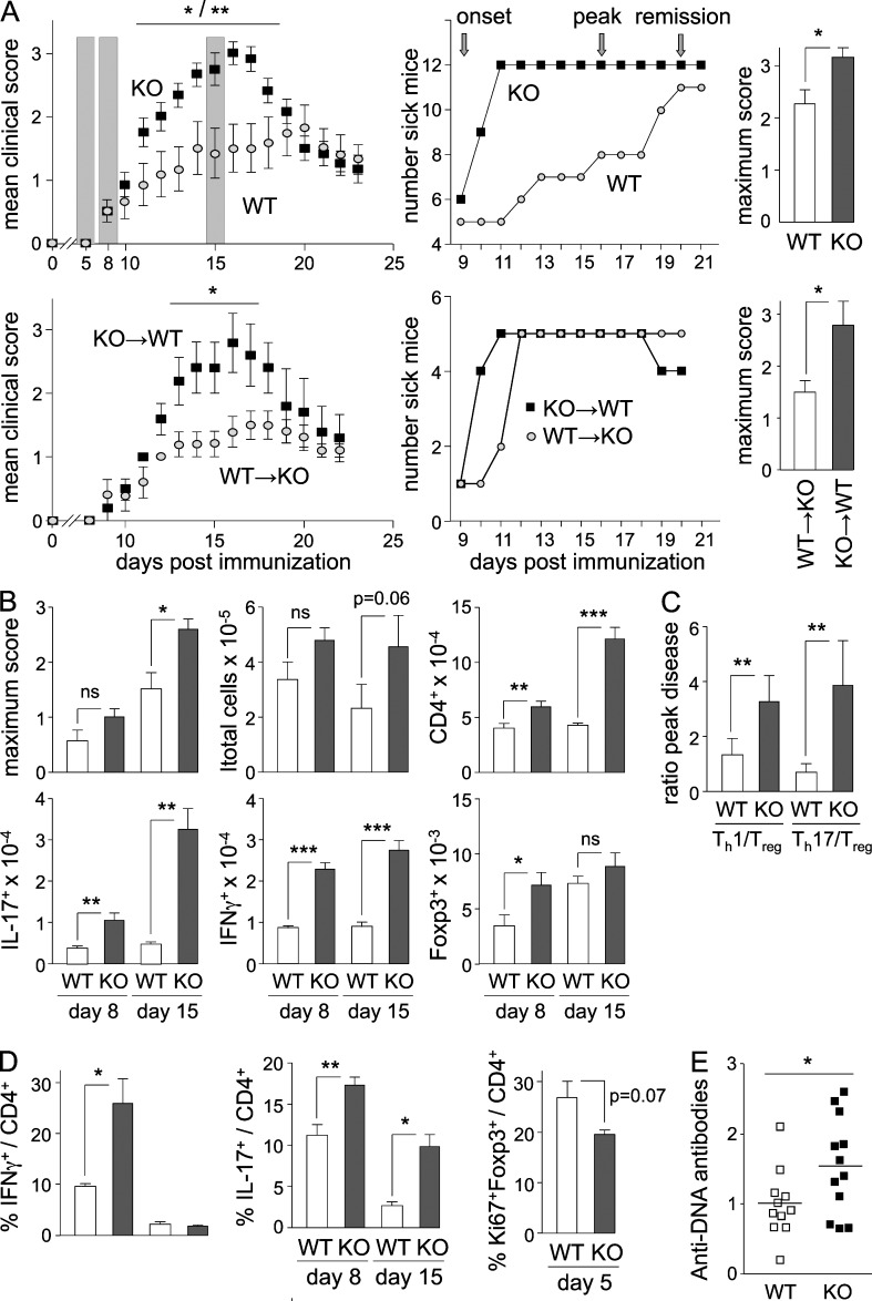 Autoimmunity in Btn2a2 −/− mice. (A) EAE was induced by immunization with MOG 35–55 + CFA in Btn2a2 −/− (KO) and WT mice or in KO→WT and WT→KO chimeras. (Top left) Mean clinical scores, disease incidence, and maximum scores are shown as shading highlighting time points analyzed in B and C. (B) Maximum disease scores and SC-infiltrating cells (total cells, CD4 + T cells, and MOG-specific IFN-γ + , IL-17 + , or Foxp3 + CD4 + T cells) were quantified by flow cytometry in WT and Btn2a2 −/− mice at disease onset and peak disease. (C) Ratios between SC-infiltrating Th1 or Th17 cells and T reg cells were determined at peak disease in WT and Btn2a2 −/− mice. (A–C) Results are pooled from two experiments, each with five mice per group. (D) IFN-γ + , IL-17 + , and Ki67 + Foxp3 + CD4 + T cells were quantified by flow cytometry in LN cells harvested at pre-onset, onset, and peak disease. Results are derived from three experiments, each with six mice per group. (E) Serum <t>anti-DNA</t> Ab titers were measured by <t>ELISA</t> in age-matched 1-yr-old Btn2a2 −/− and WT mice. A representative of two experiments is shown, each with eight mice per group. *, P
