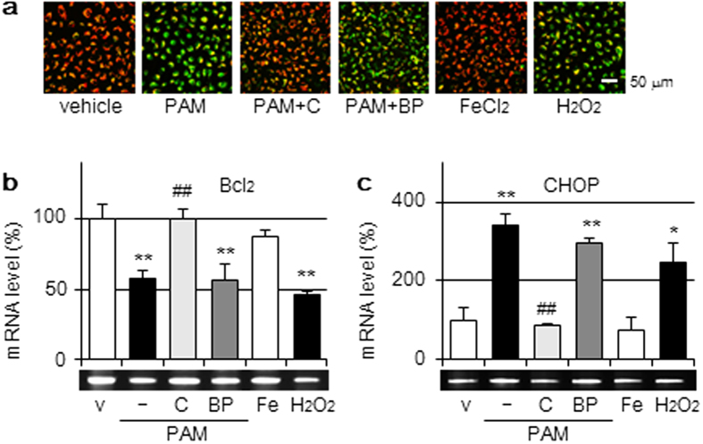 Mitochondrial and endoplasmic reticulum injuries by the PAM treatment. ( a ) A549 cells were treated with DMEM (vehicle); PAM in the presence or absence of catalase (50 U/mL) or BP (200 μM); FeCl 2 -supplemented DMEM (100 μM) or H 2 O 2 -supplemented DMEM (1 mM) for 2 h in a CO 2 incubator, followed by <t>JC-1</t> staining. Scale bars, 50 μm. ( b , c ) A549 cells were treated for 3 h with the reagents described above in a CO 2 incubator, followed by RT-PCR for Bcl 2 ( b ), CHOP ( c ), and β-actin. RT-PCR data were normalized using β-actin levels. Data are shown as means ± SD (n = 3). * p