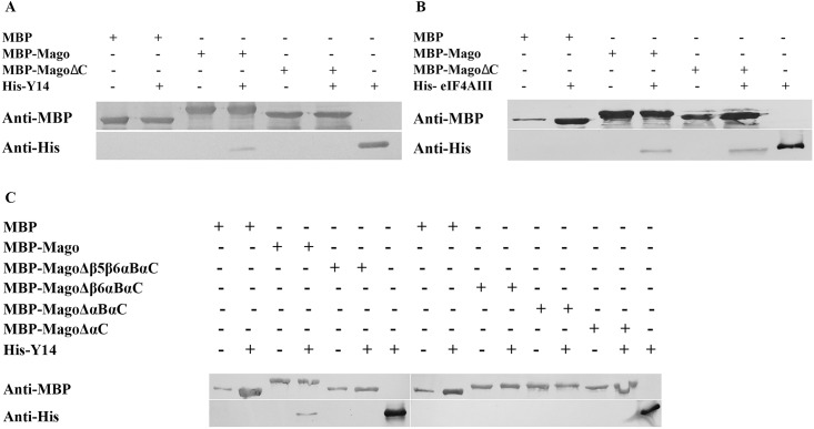 CTD of AtMago is required for AtMago-AtY14 interaction, but not for AtMago-AteIF4AIII. Western blots showing results from in vitro pull-down assay for AtMagoΔC-AtY14 (A), AtMagoΔC-AteIF4AIII (B), and various AtMago C terminal truncations-AtY14 (C).