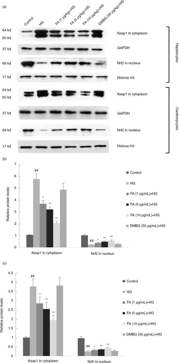 Effects of ferulic acid (FA) and dimethylbiguanide (DMBG) on Keap-1 and <t>Nrf2</t> expression in hepatocytes and cardiomyocytes. (a) Western blot results. (b) Keap-1 and Nrf2 expression levels in hepatocytes. (c) Keap-1 and Nrf2 expression levels in cardiomyocytes. Mean±SEM, n =3. ## p
