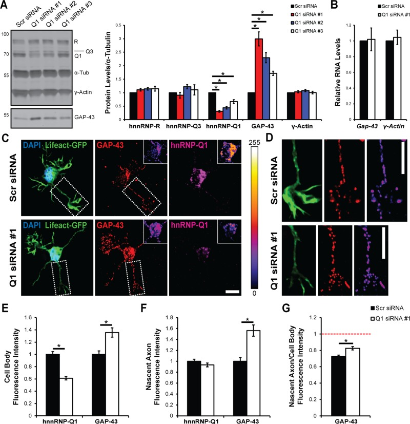 Increased GAP-43 protein expression upon hnRNP-Q1 knockdown. (A) GAP-43 and γ-actin protein levels were assessed by immunoblot in N2a cell lysates 72 h after hnRNP-Q1 #1, hnRNP-Q1 #2, hnRNP-Q1 #3, or Scr siRNA transfection. n = 6, one-way analysis of variance (ANOVA), Dunnett's posthoc, hnRNP-R p values: Scr vs. Q1 #1, p = 0.3897; Scr vs. Q1 #2, p = 0.2057; Scr vs. Q1 #3, p = 0.1801; hnRNP-Q3 p values: Scr vs. Q1 #1, p = 0.8869; Scr vs. Q1 #2, p = 0.4025; Scr vs. Q1 #3, p = 0.8486; hnRNP-Q1 p values: Scr vs. Q1 #1, p