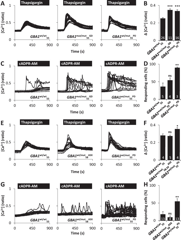 Pathogenic GBA1 disrupts ER Ca 2+ release. (A–D) ER Ca 2+ release in GBA1 wt/wt 55 , GBA1 mut/mut 55 GD and GBA1 wt/mut 55 PD cells (young cohort). (A) Cytosolic Ca 2+ recordings from individual fibroblasts challenged with <t>thapsigargin</t> (1 μM) from the indicated representative populations. Experiments were performed in the absence of extracellular Ca 2+ . (B) Summary data (mean ± SEM) quantifying the magnitude of thapsigargin-evoked Ca 2+ signals in the indicated number of fields of view. Results are from 5 to 9 independent passages analysing 154–367 cells. (C) Cytosolic Ca 2+ recordings from individual fibroblasts stimulated with cADPR-AM (25 μM). Experiments were performed in the presence of extracellular Ca 2+ . (D) Summary data quantifying the percentage of cells responsive to cADPR. Results are from 2 to 3 independent passages analysing 39–75 cells. (E) Similar to A except thapsigargin-evoked Ca 2+ release was assessed in GBA1 wt/wt 55 , GBA1 wt/mut 58 ASX and GBA1 wt/mut 55 PD cells. (F) Summary data from 4 independent passages analysing 46–127 cells. (G) Similar to C except cADPR-evoked Ca 2+ release was assessed in GBA1 wt/wt 55 , GBA1 wt/mut 58 ASX and GBA1 wt/mut 55 PD cells. (H) Summary data from 3 to 6 independent passages analysing 73–257 cells. * p