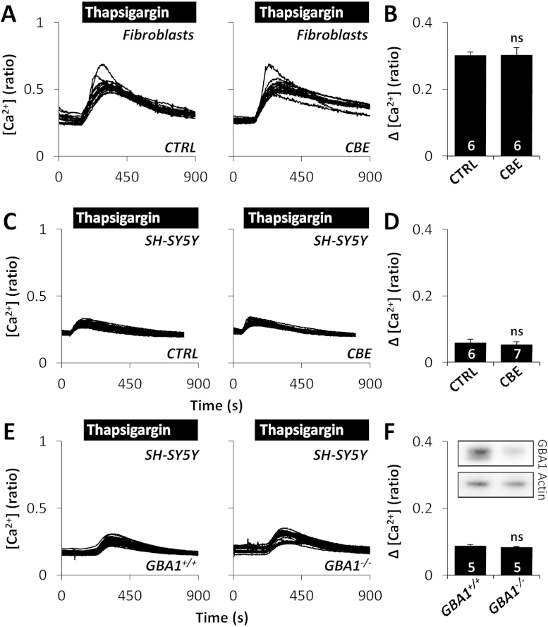 Inhibition of β-glucocerebrosidase does not affect ER Ca 2+ release. (A) Cytosolic Ca 2+ recordings from individual control GBA1 wt/wt fibroblasts challenged with thapsigargin (1 μM) from a representative population treated with 10 μM CBE for 8 days. (B) Summary data from 2 independent treatments analysing 87–90 cells. (C–F) Cytosolic Ca 2+ recordings from individual SH-SY5Y cells challenged with thapsigargin (1 μM) from a representative population treated with 10 μM CBE for 10–11 days (C) or stably expressing either scrambled shRNA ( GBA1 +/+ ) or shRNA targeting GBA1 ( GBA1 −/− ) (E). Summary data from 3 independent treatments analysing 117–204 cells (D) and 3 independent passages analysing 150–143 cells (F). All experiments were performed in the absence of extracellular Ca 2+ . ns, not significant. Inset (F) is a Western blot using antibodies to β-glucocerebrosidase (top) or actin (bottom) and homogenates (14 μg) from SH-SY5Y cells treated with the indicated shRNA.