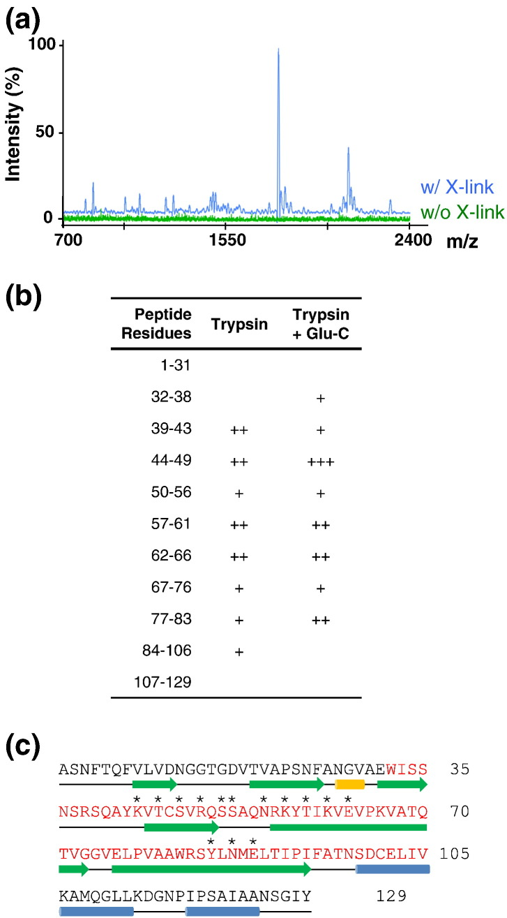 """RCAP of the MS2 virion. (a) MALDI-ToF spectra of trypsin-generated peptides co-purified with the MS2 RNA ( Materials and Methods ) from samples mock-treated or cross-linked with formaldehyde. (b) Residue numbers of CP peptides recovered in experiments similar to those shown in (a) for the different protease treatments. """"+"""" indicates the intensity of each peptide segment. (c) MS2 CP peptides in contact with the genome in the virion. Peptides assigned following RCAP are shown in red and comprise the entire region from amino acid 32 to amino acid 105, which form the four β-strands, C, D, E and F, facing the interior of the virion. The secondary structure elements (PDB ID 2MS2; Fig. 1 a) are represented by green arrows, blue bars and a gold bar for β-strands, α-helices and a 3 10 helix, respectively. Residues contacting the TR PS are shown with an asterisk above ( Fig. 1 b)."""