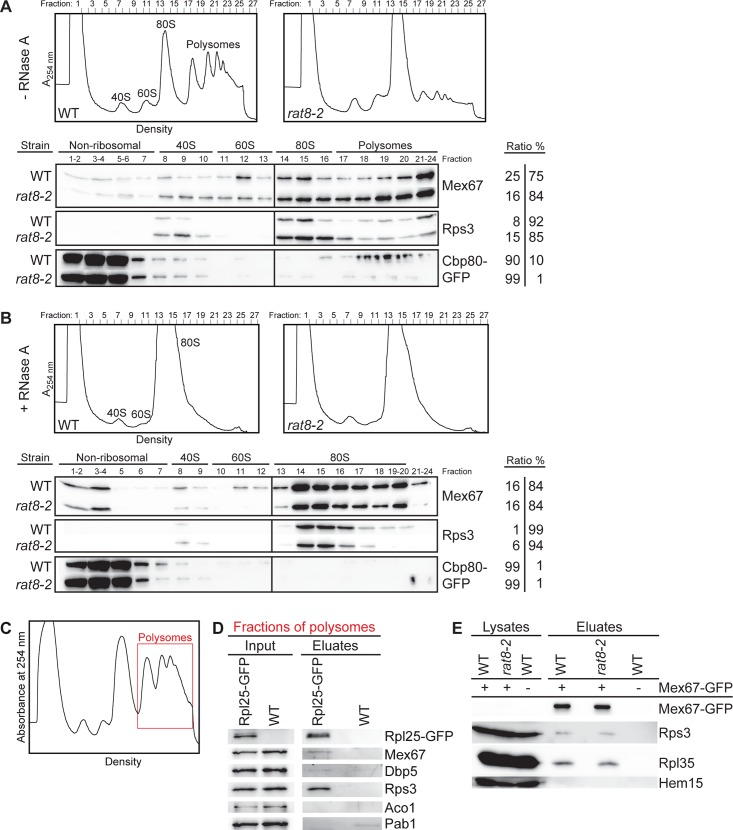 Dbp5 does not displace Mex67 from exported ribosomal particles. (A) Sucrose-density fractionation experiments reveal that Mex67 is associated with polysome-containing fractions from wild type and rat8-2 cells and (B) remains equally ribosome bound upon RNase A treatment. The upper panel shows profiles of wild type and rat8-2 cells upon flow through photometry (A 254nm ) from ultra-centrifuged sucrose gradients. Before loading, the cells were shifted for 1 h to 37°C and half of the resulting lysates were treated with RNase A. The bottom panel shows the corresponding separated protein fractions in Western blot analyses with direct antibodies against Mex67 and the ribosomal protein Rps3. The mRNA-binding protein GFP-Cbp80 was expressed with a galactose-inducible promoter, subsequently detected with an anti-GFP antibody to serve as a positive control. The ratios of all proteins from the first fractions (non-ribosomal+40S+60S) and the last fractions (80S+polysomal fractions) are indicated. (C-D) Mex67 is RNA-independently associated with polysomes in wild type cells. Western blot analyses of Rpl25-GFP immunoprecipitations from polysomal gradient fractions show co-precipitation of Mex67. Wild type yeast lysates were separated in sucrose-density gradients that were subsequently fractionated. The polysomes-containing fractions (red framed area) were subjected to co-immunoprecipitation experiments that were treated with RNase A. The correct fractions were chosen according the flow through photometry profile displayed in (C) . Detection of Rps3 and Dbp5 served as positive controls. Aco1 was detected as non-binding control and the mRNA-binding protein Pab1 as control for the RNase A treatment. (E) The association of Mex67 with ribosomal proteins is unchanged in the rat8-2 strain. Western blot analyses of a co-immunoprecipitation experiment with Mex67-GFP and Rps3 or Rpl35 in wild type and rat8-2 cells, which were shifted for 1 h to 37°C, are shown upon RNase A treatment. Hem15