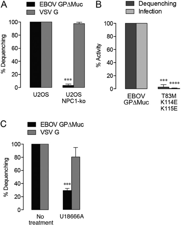 Lipid mixing requires EBOV GP-NPC1 interaction. (A) Lipid mixing by EBOV GPΔMuc-pseudotyped virus is significantly reduced in U2OS cells lacking the NPC1 cholesterol transporter. Asterisks indicate that values are significantly lower than those seen with wt U2OS. (B) A GP mutant unable to bind NPC1 displays impaired lipid mixing activity and infectivity. Asterisks indicate that values are significantly lower than those seen with VSV-EBOV GPΔMuc. (C) Lipid mixing is decreased by addition of the drug U18666A (10 µM), which inhibits cholesterol transport from within endosomes and induces an NPC1 disease phenotype. Asterisks indicate that values are significantly lower than those seen with the untreated control.