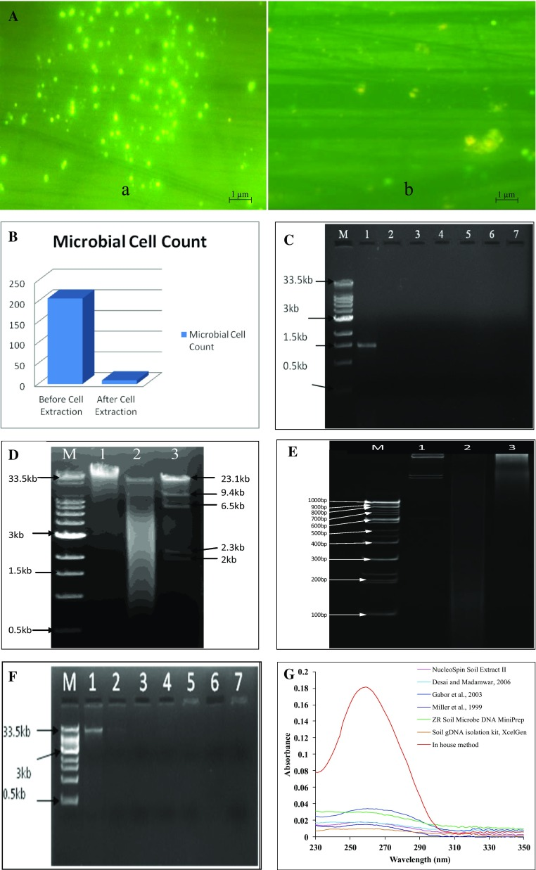 A Epifluorescence microscopic images of acridine orange stained slides, ( a ) intact soil sample and ( b ) soil sample after cell extraction. B Acridine orange staining-based microbial cell count by epifluoresence microscopy before and after cell extraction. C Electrophoresed 1 % gel showing amplified 16S rRNA gene, M molecular weight marker, lane 1 : amplified 16S rRNA gene from environmental DNA extracted by newly developed method, lane 2–7 : amplification of 16S rRNA gene from DNA extracted by published methods and kits, (it can be observed that DNA was unable to amplify by these methods). D Electrophoresed 1 % agarose gel showing, lane M : SuperMix DNA ladder (0.5 kb to 33 kb), lane 1 : environmental DNA, lane 2 : mixture of environmental DNA extracted from newly developed method and λ DNA digested with Hind III, lane 3 : λ DNA digested with Hind III and. E Polyacrylamide gel (9 %) showing: lane M molecular weight marker 100 bp, lane 2 : λ DNA digested using Hind III, lane 3 : completely digested environmental DNA extracted with newly developed method with Hae III (10 h), and lane 4 : partially digested environmental DNA extracted with newly developed method with Hae III (1 h). F Electrophoresed 1 % agarose gel showing DNA marker and extracted environmental DNA by various methods. M denotes molecular weight marker, lane 1 : showing environmental DNA extracted by newly developed method, lane 2 : high concentration of lysozyme lysis method (Gabor et al. 2003 ), lane 3 : hot detergent lysis method (Desai and Madamwar 2006 ), lane 4 : bead beating lane (Miller et al. 1999 ) 5 : NucleoSpin Soil Extract II, lane 6 : Soil gDNA isolation kit (XcelGen), lane 7 : ZR Soil Microbe DNA MiniPrep. G UV–visible absorbance spectra of environmental DNA extracted by described mentioned methods and kits