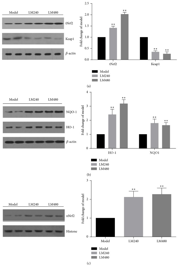 L-malate (LM) increases expression of total Nrf2 and nuclear Nrf2 protein and HO-1, <t>NQO-1</t> protein after MIRI and decreases expression of Keap1 protein. Expression of total Nrf2, nuclear Nrf2, HO-1, NQO-1, and Keap1 was measured, with Western blot. Densitometric analysis was performed with Quantity One software 24 h later. Data are presented as means ± SD from 3 experiments. ∗∗ P