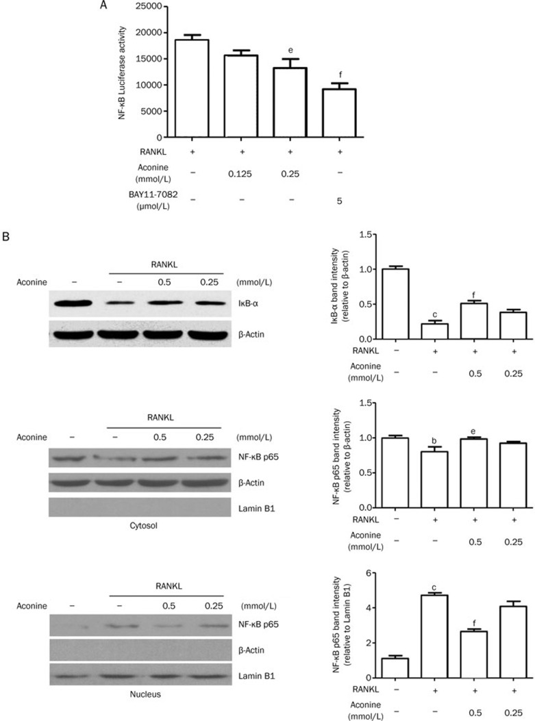 Aconine inhibits RANKL-induced NF-κB activation. (A) RAW264.7 cells that were stably transfected with a NF-κB luciferase reporter construct were pretreated with varying concentrations of aconine and the NF-κB inhibitor, BAY11-7082, for 30 min and then treated with RANKL (100 ng/mL) for 8 h. (B) RAW264.7 cells were pretreated with aconine for 30 min prior to RANKL (100 ng/mL) stimulation for 30 min. Then, whole cytoplasmic and nuclear proteins were extracted as described in the methods. The expression levels of IκB-α, NF-κB p65 in the cytoplasmic and NF-κB p65 in the nuclear extracts were determined using Western blot analysis. Subcellular fraction purity and the equality of sample loading were evaluated by analyzing the levels of β-actin and Lamin B1. Protein levels were quantified using densitometry. Mean±SEM. n =3. b P