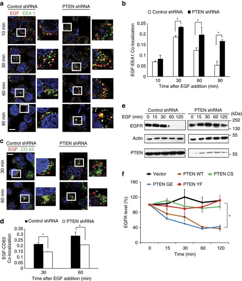 Loss of PTEN delays EGFR transport from early to late endosomes. ( a ) Serum-starved control or PTEN shRNA-transduced HeLa cells were pulsed with alexa Flour 647-conjugated EGF (100 ng ml −1 ) for 5 min. Cells fixed at different indicated times were imaged using confocal microscope after co-staining with antibodies against EEA1. Scale bar, 10 μm. ( b ) EGF-EEA1 co-localization in control and PTEN shRNA cells at different times after EGF addition was analysed by Manders method of pixel intensity correlation measurements using Image J/Fiji-Coloc2 plugin. Error bars indicate s.d. ( n =100 cells for each time point from three independent experiments), * P