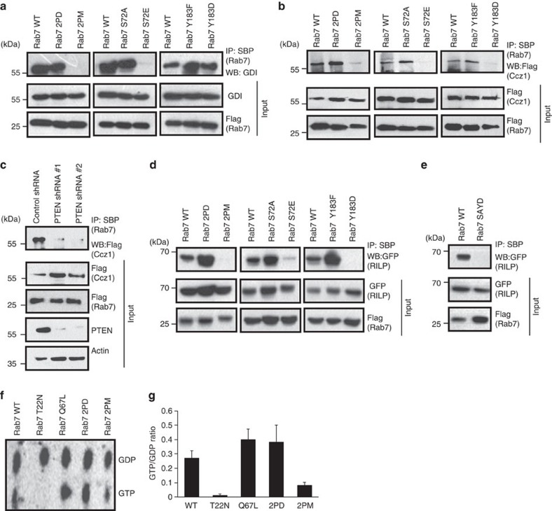 PTEN-mediated Rab7 dephosphorylation is necessary for its interaction with GDI, GEF and effector proteins. ( a ) HEK 293T cells transfected with either SFB-Rab7 WT or its various mutants were subjected to immunoprecipitation with streptavidin beads (SBP). The interaction of GDI with Rab7 and its mutants was analysed by immunoblotting with GDI-specific antibody. ( b ) Cells were transfected with SFB-Rab7 WT and its mutants along with Flag-tagged Ccz1 and the interaction of Rab7 with Ccz1 was determined by immunoblotting with Flag antibody after immunoprecipitating with SBP. ( c ) 293T cells expressing either control or two different PTEN shRNAs were co-transfected with SFB-Rab7 and Flag-Ccz1. The interaction of Ccz1 with Rab7 was analysed by immunoblotting with Flag antibody after immunoprecipitation with SBP beads. ( d ) Cells were transfected with SFB-Rab7 WT and its mutants along with GFP-tagged RILP and the interaction of Rab7 with RILP was determined by immunoblotting with GFP antibody after immunoprecipitating with SBP. ( e ) Cells were transfected with SFB-Rab7 WT and Rab7 S72A/Y183D mutant along with GFP-tagged RILP and the interaction of Rab7 with RILP was determined by immunoblotting with GFP antibody after immunoprecipitating with SBP. ( f ) Cells transfected with various indicated SFB-tagged Rab7 constructs were labelled with 32 P-orthophosphate. GDP and GTP levels were analysed by thin layer chromotagraphy after immunoprecipitating Rab7 from the cell lysates by using streptravidin sepharose. ( g ) The GTP/GDP-bound ratio of various Rab7 mutants quantified by using Phosphorimager was plotted.