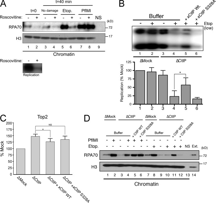 CtIP–BRCA1 interactions are required for CtIP-dependent processing of etoposide-induced DSBs . (A) Control extract (no damage), extracts treated with etoposide (Etop.), or extracts treated with PflM1 were incubated with the CDK inhibitor roscovitine. Chromatin was isolated at 0 or 40 min and processed for Western blot with the indicated antibodies. Roscovitine inhibits genomic DNA replication (bottom). (B) Control (ΔMock) and CtIP-depleted extracts (ΔCtIP) with or without etoposide were supplemented with sperm nuclei, and replication was monitored by agarose gel electrophoresis after incorporation of α-[ 32 P]dCTP into genomic DNA. CtIP-depleted extracts were supplemented with recombinant xCtIP WT or CtIP-S328A mutant (xCtIP S328A). Bar graph shows quantification of three independent experiments (*, P = 0.026, two-tailed unpaired t test). (C) Relative quantification of Top2–DNA adducts in CtIP-depleted extracts supplemented with buffer, xCtIP WT, or xCtIP S328A (*, P = 0.035, two-tailed unpaired t test; NS, not statistically significant [P = 0.08]; n = 3). (D) Control (ΔMock) and CtIP-depleted extracts were supplemented with sperm nuclei (5,000/µl) and treated with either PflM1 endonuclease or etoposide. CtIP-depleted extracts were supplemented with recombinant xCtIP WT or xCtIP S328A. Chromatin was isolated and processed for Western blotting with the indicated antibodies. NS, no sperm control; Ext., extract.