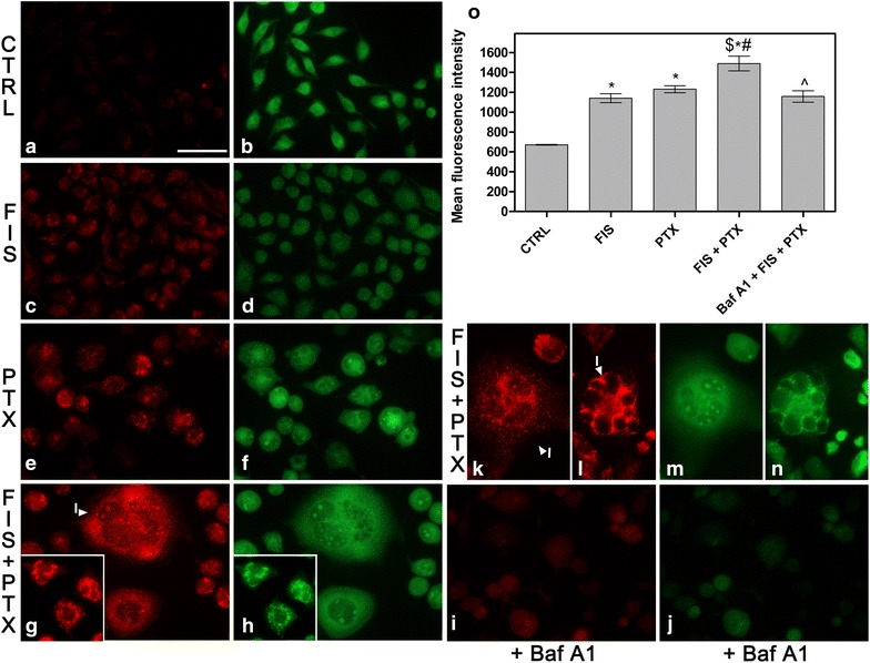 The detection of autophagy by acridine orange staining (AO). a – n Fluorescent microscope was used to visualize the acidic vesicular organelles (AVOs; red fluorescence ) as well as the cytoplasm and nucleus ( green fluorescence ) after the vital staining of the cells with AO, as indicated in Materials and methods. a – h The A549 cells were treated with 10 µM fisetin (FIS) and/or 0.1 µM paclitaxel (PTX) for 24 h or left untreated (control, CTRL). i , j As negative control, bafilomycin A1 (Baf A1; 100 nM) was added to the cells for a period of 4 h, followed by washing with PBS and subsequent incubation with FIS and PTX for 24 h. k – n In another set of experiment, the cells were treated with the combination of 10 µM fisetin and 0.1 µM paclitaxel for 24 h, followed by post-treatment incubation in a drug-free medium for the next 24 or 48 h. Note the increased amount of AVOs after the treatment with FIS and/or PTX ( c , e , g ). Arrowheads indicate: ( I ) the giant multinucleated cells filled with numerous AVOs. Bar 50 µm. o The measurement of the red fluorescence of AO using image-based cytometer. Asterisks represent statistically significant differences from control cells, and symbol ^ indicates statistically significant differences compared to the treatment with FIS plus PTX (p