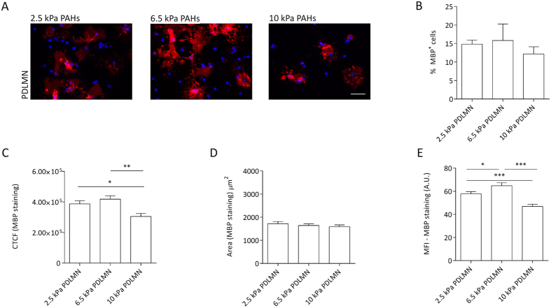 Modulation of oligodendrocyte differentiation and MBP levels by substrate stiffness within a narrow, brain-compliant range. ( A ) Representative fluorescence microscopy images of primary rat oligodendrocytes cultured for 5 days in differentiation medium using PAHs with distinct degrees of stiffness (2.5, 6.5 or 10 kPa) functionalised with 7 PDL or PDLMN, as indicated, using an anti-MBP antibody (red) and DAPI for nuclear counterstaining (blue). Scale bars correspond to 50 μm. ( B ) Percentage of MBP-positive cells on the distinct substrates and ( C ) quantification of CTCF for MBP of oligodendrocytes cultured with differentiation medium for 5 days on 2.5, 6.5 and 10 kPa PAHs functionalised with PDL or PDLMN (as indicated). ( D ) Measurement of MBP signal area and ( E ) mean fluorescence intensity (MFI) of MBP signal (six fields per experiment from three independent experiments were analysed). Statistical analysis was performed by one-way ANOVA followed by Tukey's multiple comparison test or Kruskal-Wallis test [in ( B )] using the software GraphPad Prism 6. Statistically significant differences between substrate stiffness were represented using connectors (* p