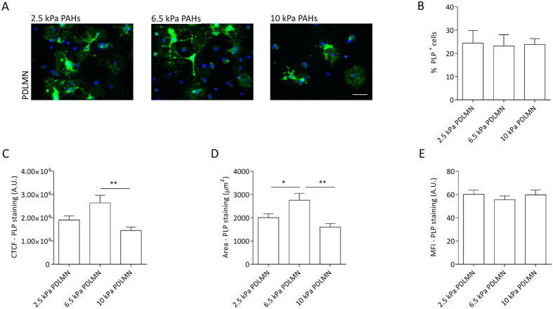 Modulation of oligodendrocyte maturation and PLP levels by substrate stiffness within a narrow, brain-compliant range. ( A ) Representative fluorescence microscopy images of primary rat oligodendrocytes cultured for 5 days in differentiation medium using PAHs with distinct degrees of stiffness (2.5, 6.5 or 10 kPa) functionalised with PDL +/− MN, as indicated, using an anti-PLP antibody (green) and DAPI for nuclear counterstaining (blue). Scale bars correspond to 50 μm. ( B ) Percentage of the PLP-positive cells on distinct substrates and ( C ) quantification of CTCF for PLP of primary oligodendrocytes cultured with differentiation medium for 5 days on 2.5, 6.5 and 10 kPa PAHs functionalised with PDL or PDLMN (as indicated). ( D ) Measurement of the PLP signal area and ( E ) mean fluorescence intensity (MFI) of the PLP signal (six fields from three independent experiments were analysed). Statistical analysis was performed by one-way ANOVA followed by Tukey's multiple comparison or Kuskal-Wallis test [in ( B )] using the software GraphPad Prism 6. Statistically significant differences between substrate stiffness were represented using connectors (* p