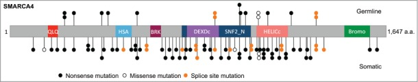 Schematic of SMARCA4 mutations in SCCOHT. SMARCA4 mutations identified in germline and tumor DNA from 62 SCCOHT patients, and in 2 SCCOHT cell lines (Case 103 from Jelinic et al. with exon deletion is not shown). 1–4 QLQ, Gln, Leu, Gln motif; HSA, helicase/SANT-associated domain; BRK, brahma and kismet domain; DEXDc, DEAD-like helicase superfamily domain; HELICc, helicase superfamily C-terminal domain; Bromo, bromodomain.