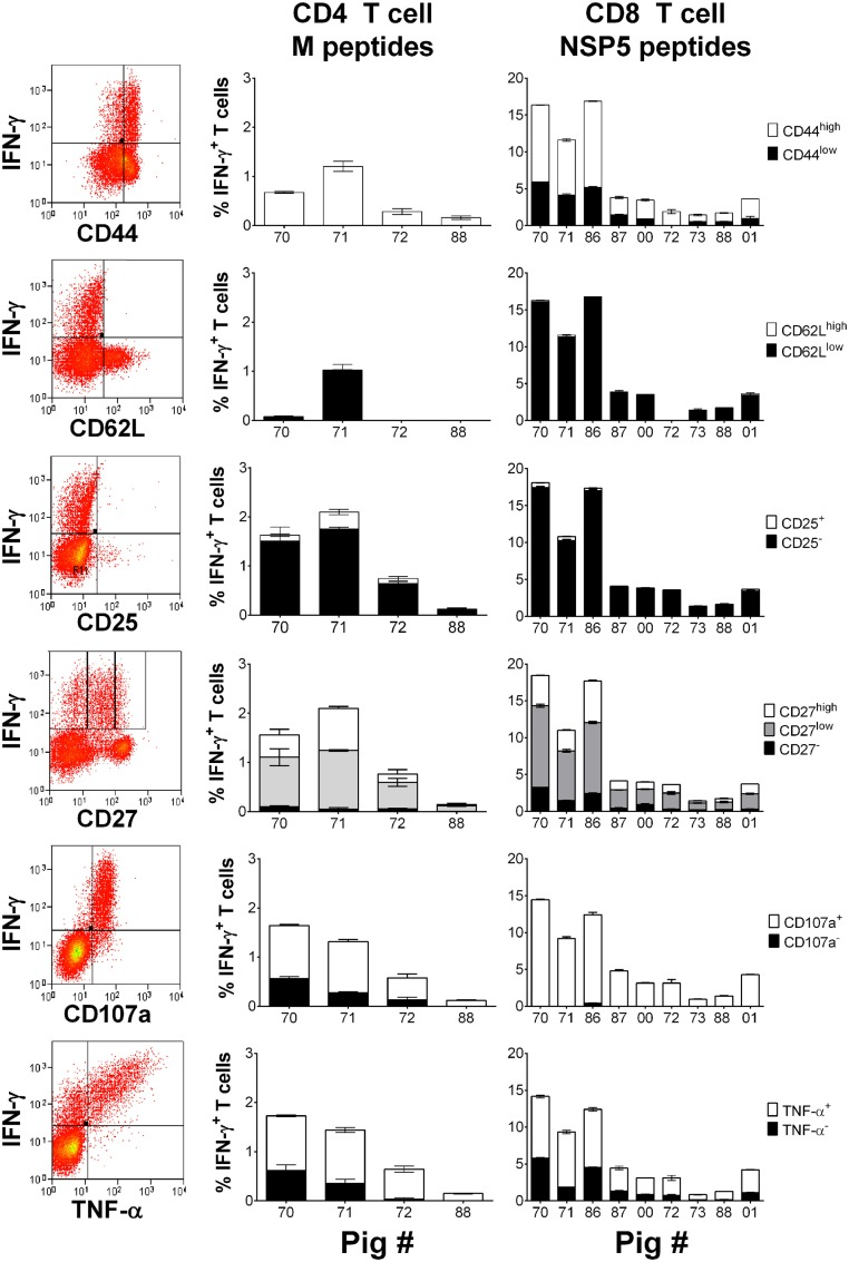 Assessment of the phenotype and polyfunctionality of PRRSV-1 NSP5-specific CD8 T cells . Previously cryopreserved PBMC from identified T cell responder pigs on day 30 postinfection were stimulated with synthetic peptide pools representing M or NSP5 proteins or left unstimulated. The expression of CD44, CD62L, CD25, CD27, surface CD107a, and TNF-α by IFN-γ + CD4 T cells in response to M peptides and CD8 T cells in response to NSP5 peptides were assessed by flow cytometry as shown by representative dot plots. The mean % of unstimulated-corrected data from duplicate cultures are presented for individual animals and error bars show the SEM.
