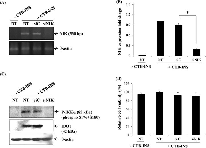 The non-canonical NF-κB pathway is required for CTB-INS-induced IDO1 expression in monocyte-derived DCs. Panel (A) shows NIK mRNA levels in monocyte-derived DCs transfected with NIK-specific siRNA (siNIK) or negative control (siC) examined by RT-PCR using NIK specific primers. The β-actin gene was used as an internal standard in RT-PCR. This image is representative of two independent experiments. Panel (B) graphic representation of NIK mRNA levels in CTB-INS vaccinated and unvaccinated DCs. Panel (C) show the expression of IDO1 protein and phosphorylated IKKα in mDCs transfected with NIK-specific siRNA (siNIK) or negative control (siC) examined by Western blot analysis using anti-IDO1 as the primary antibody. This image is representative of three independent experiments. Panel (D) shows graphic representation of the cell viability of non-transfected or transfected with NIK-specific siRNA (siNIK) or negative control (siC) in mDCs. Dendritic cell viability was measured by determination of the percentage of vaccinated DCs negative for annexin V and propidium iodide. NT means non-siRNA CTB-INS transfected DCs, and–or + means without CTB-proINS and with CTB-INS. Samples were assayed in triplicates and the results represent the mean ± SD of three independent experiments p = 0.002. Statistical analysis was performed using one way analysis of variance (ANOVA).