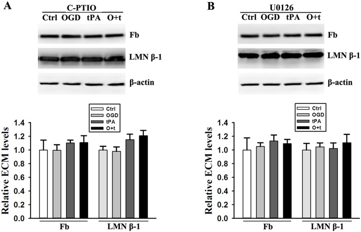Scavenge of NO with C-PTIO (A) and inhibition of <t>ERK</t> signal pathway with <t>U0126</t> (B) recover the same levels of fibronectin (Fb) and laminin β-1(LMN β-1) in the cells treated with control (Ctrl), OGD, tPA, and OGD+tPA (O+t). Upper panel: representative immunoblots, β-actin served as loading control; Bottom panel: band intensity was quantitated after normalization to β-actin and the data were expressed as mean ± SD, ANOVA, N = 4.