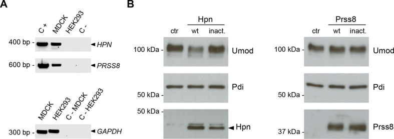 Hepsin and prostasin expression in MDCK and HEK293 cells. ( A ) RT-PCR analysis showing gene expression of candidate proteases hepsin ( HPN ) and prostasin ( PRSS8 ) in MDCK and HEK293 cells. Constructs containing coding sequences of the human proteases were used as PCR positive controls (C+). Expression of GAPDH is shown as a cDNA positive control. PRSS8 and HPN are exclusively expressed in MDCK cells, confirming data obtained from available transcriptomes. ( B ) Representative Western blot analysis of uromodulin, hepsin and prostasin in lysates of transfected HEK293 cells. Wild-type proteases as well as catalytically inactive enzymes were expressed in HEK293 cells, as indicated. Protein disulfide-isomerase (Pdi) is shown as a loading control. The arrowhead points at hepsin specific band. DOI: http://dx.doi.org/10.7554/eLife.08887.010