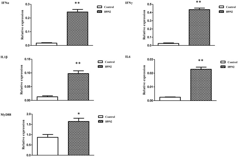 The relative transcription levels of immune-related genes in AIV H9N2-treated goose PBMCs at 6 h post-infection. IFNα, IFNγ, IL1β, IL6, and MyD88 mRNA expression was normalized using an internal control. The data were expressed as the mean ± SEM (n = 4), and the difference between the agonist-treated cells and the mock-treated cells was analyzed with a t -test. Groups denoted by one star ( ∗ ) represent a significant difference at P