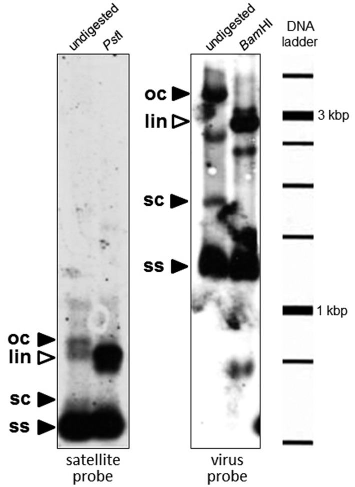 Southern blot analysis to detect the presence of DNA satellites in a sweepovirus-infected sweet potato sample (B3). Total DNA (∼1 μg) was separated on 0.8% agarose gel electrophoresis in TAE, transferred to a positively charged nylon membrane and hybridized with digoxigenin-labeled probes synthesized by PCR from clone SBG53 (satellite, left panel) and the sweet potato leaf curl virus (SPLCV) isolate present in that sample (virus, right panel). Total DNA was digested (right part of each panel) with a restriction enzyme which recognizes a unique site in the satellite ( Pst I) and SPLCV ( Bam HI). The positions of open circular (oc), supercoiled (sc), and single-stranded (ss) DNA forms are indicated with black arrowheads. The positions of linear (lin) DNA forms are indicated with white arrowheads. Mobility of the size marker (1 kb DNA ladder) is given in the right margin.