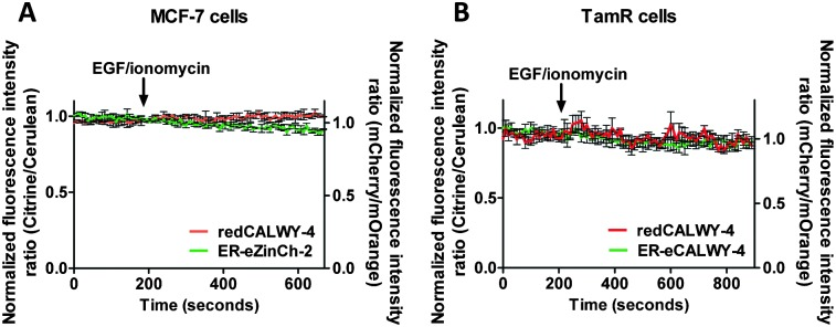 (A) Responses of MCF-7 cells co-expressing redCALWY-4 and ER-eZinCh-2 to the addition of 10 ng mL –1 EGF together with 500 nM ionomycin. (B) Responses of TamR cells co-expressing redCALWY-4 and ER-eCALWY-4 to the addition of 10 ng mL –1 EGF together with 500 nM ionomycin. Traces in A and B represent the average of three cells after normalization at t = 0 s. Error bars represent SEM.