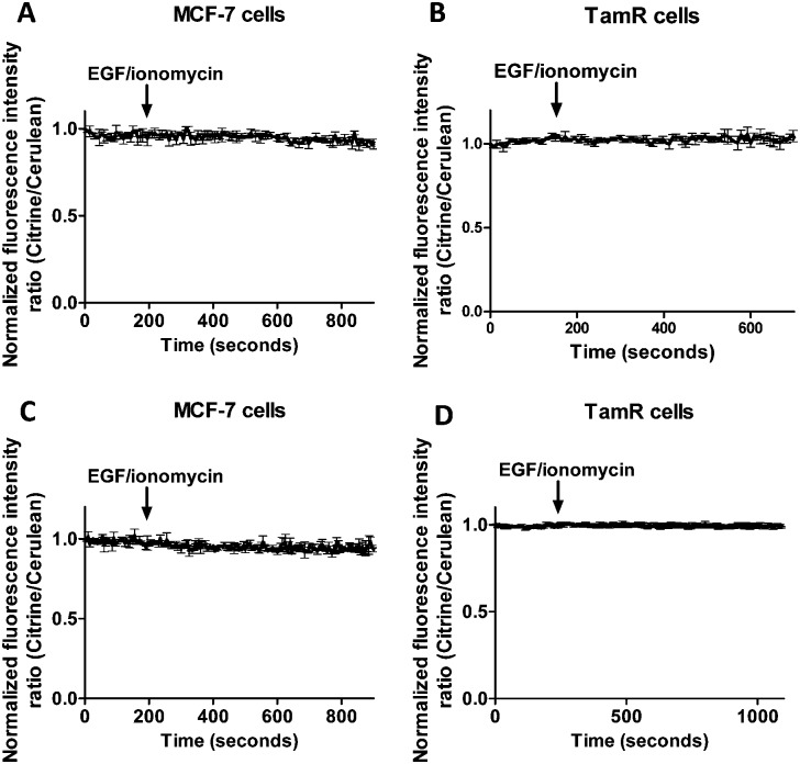 Responses of MCF-7 cells expressing cytosolic eCALWY-4 (A) and TamR cells expressing cytosolic eZinCh-2 (B) to the addition of 10 ng mL –1 EGF together with 500 nM of the calcium ionophore ionomycin. Responses of MCF-7 cells expressing ER-eZinCh-2 (C) and TamR cells expressing ER-eCALWY-4 (D) to the addition of 10 ng mL –1 EGF together with 500 nM of the calcium ionophore ionomycin. All traces represent the average of three cells after normalization at t = 0 s. Error bars represent SEM.