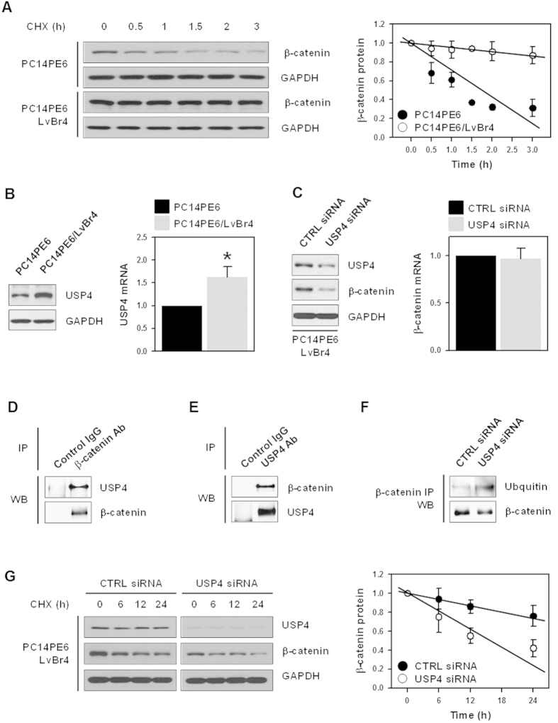 USP4 regulated the expression of β-catenin by controlling its protein stability. ( A ) To compare the β-catenin protein stability, PC14PE6 and PC14PE6/LvBr4 cells were treated with cycloheximide (20 μg/mL) and harvested at the indicated times. Whole cell lysates were prepared, and the level of β-catenin protein was determined by western blotting. The stability of β-catenin was assessed by image analysis. ( B ) The expression level of USP4 in PC14PE6 and PC14PE6/LvBr4 cells was examined by western blotting (left panel) and RT-qPCR (right panel). ( C ) To determine whether USP regulates the expression of β-catenin, brain metastatic PC14PE6/LvBr4 cells were transfected with control (CTRL) or USP4-specific siRNA for 48 h. The whole cell extract was prepared and the expression level of USP4 and β-catenin was determined by western blotting. ( D,E ) To evaluate the direct interaction between USP4 and β-catenin, whole cell lysates were prepared using RIPA buffer, and equal amounts of protein were incubated with appropriate control IgG or an antibody against USP4 ( D ) or β-catenin ( E ). The level of β-catenin and USP4 in IP materials was assessed by western blotting. ( F ) To check the effect of USP4 silencing on the ubiquitination of β-catenin, PC14PE6 cells were transfected with control (CTRL) or USP4-specific siRNA for 48 h. Whole cell lysates were prepared using RIPA buffer and incubated with appropriate control IgG and β-catenin antibody. The levels of β-catenin and ubiquitin were assessed by western blotting. ( G ) To compare the protein stability of β-catenin, parental PC14PE6 and brain metastatic PC14PE6/LvBr4 cells were treated with cycloheximide (40 μg/mL) and harvested at the indicated times. The stability of β-catenin was determined as described above. Data are means and standard deviation from more than three independent experiments. * p