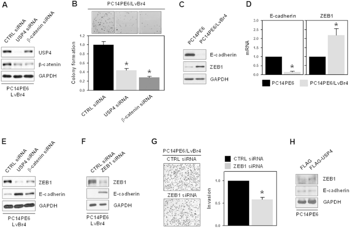 USP4/β-catenin axis regulated the clonogenicity and epithelial-mesenchymal transition in brain metastatic PC14PE6/LvBr4 cells. ( A ) For the colony forming assay, PC14PE6/LvBr4 cells were transfected with control (CTRL) or siRNAs targeting USP4 or β-catenin for 48 h. The level of USP4 and β-catenin was determined by western blotting. ( B ) Transfected cells were seeded into 6-well plates and cultured with complete medium for 2 weeks. After cells were stained with 0.2% crystal violet, the number of stained colonies was counted. ( C,D ) To compare the EMT characteristics between PC14PE6 and PC14PE6/LvBr4 cells, the expression level of E-cadherin and ZEB1 was determined by western blotting ( C ) and RT-qPCR ( D ). ( E ) To examine the effect of USP4 and β-catenin on ZEB1 expression, PC14PE6/LvBr4 cells were transfected with control (CTRL) siRNA or siRNAs targeting USP4 or β-catenin for 48 h. The levels of USP4, β-catenin, and ZEB1 were determined by western blotting. ( F,G ) To investigate the effect of ZEB1 silencing on EMT and invasiveness, PC14PE6/LvBr4 cells were transfected with control (CTRL) or ZEB1-specific siRNA for 48 h. The levels of ZEB1 and E-cadherin were determined by western blotting ( F ) and the invasiveness of transfected cells was assessed using a Matrigel Invasion Chamber ( G ). Data are means and standard deviation from more than three independent experiments. * p