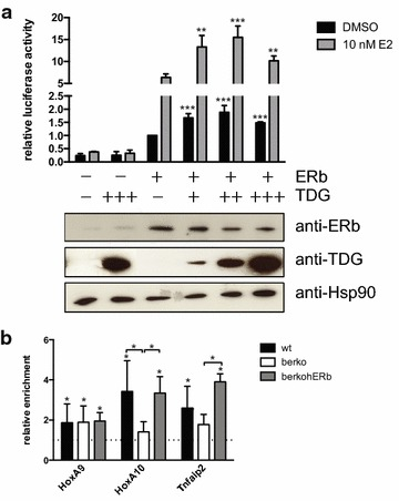 ERβ–TDG interaction affects gene regulation. a TDG increases ERβ transcriptional activity in reporter assays. Tdg −/− MEFs were transfected with plasmids encoding for the reporter gene 3× ERE-luc, TK-renilla, ERβ, and TDG in different concentrations (50, 150, and 300 ng transfected plasmid), and treated with 10 nM E2. After 16 h, firefly luciferase activity was measured and normalised against renilla luciferase activity (means + SD; n ≥ 3). TDG co-expression increased luciferase activity significantly (** p